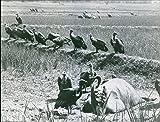 Vintage foto di un gruppo di Vulture mangiare un animale morto.