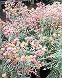 Saatgut für Aprikosen und Pfirsichblüten, Korallenpapier, 100 Samen