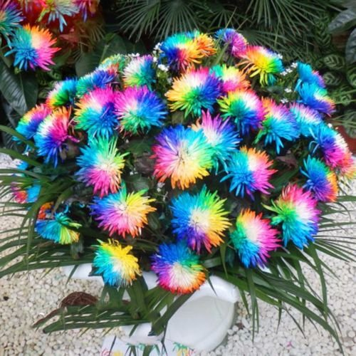 Aiden Gardens Rainbow Chrysanthemum Flower Seeds Ornamental Rare Color Plant 30 Seeds