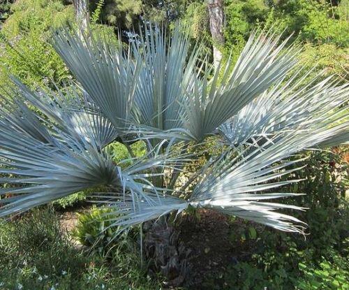 Brahea sp. Super Silver - Silberne Felsen-Palme - 5 Samen