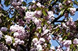 Hängende Nelkenkirsche Kiku-shidare-zakura Prunus serrulata Kiku-shidare-zakura Containerware 60-100 cm