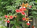 25 graines Fleurs - BIGNONE Orange - Campsis Radicans