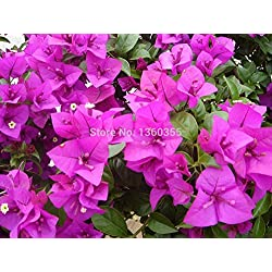 "10pcs Mix-color 'Bougainvillea spectabilis Willd ""Samen Bonsai Blume Pflanzensamen Blumen Blumentopf Pflanzer"