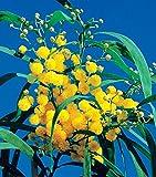 Mimosa des 4 saisons