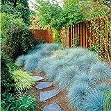Yukio Samenhaus - 100 Stück Blauschwingel Festuca glauca 'Blue Select' Samen Ziergras, Beliebte, dauerhafte Stein- und Heidegartenpflanze