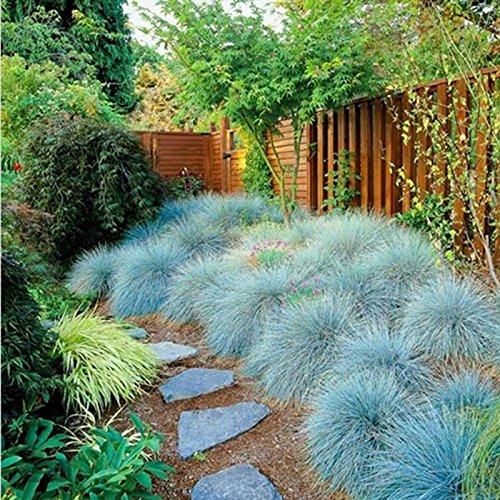 Yukio Samenhaus - 100 Stück Blauschwingel Festuca glauca \'Blue Select\' Samen Ziergras, Beliebte, dauerhafte Stein- und Heidegartenpflanze