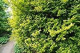 Liguster Goldliguster Ligustrum ovafolium Aureum Containerware 60-80 cm