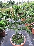 Araucaria araucana - Andentanne - chilenische Schmucktanne - 40-50 cm