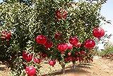 #8: Pomegranate Hybrid Live Plant, Fast Fruiting, Sinduri Variety सिंदूरी अनार