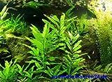 1 Topf Mini Kirschblatt, Vordergrundpflanze