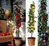 Säulenobst, Nashi, Apfel, Kirsche, Pflaume, 4er-Set