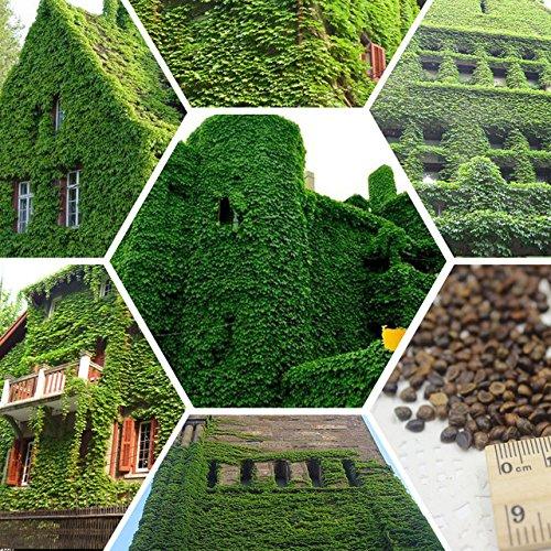Prodotti hoo - 100% semi di edera veri rampicanti esterni verdi semi edera di boston il trasporto di goccia di semi parthenocissus tricuspidata - 100 pz nuovo arrivo!