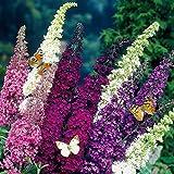 Dominik Blumen und Pflanzen, 3er Sommerflieder-Sortiment Buddleia davidii