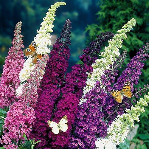 """Dominik Blumen und Pflanzen, 3er Sommerflieder-Sortiment Buddleia davidii \""""Empire Blue\"""", \""""Pink Delight\"""",  \""""Royal Red\"""", 2 - 3-triebig, 20 - 40 cm, 1 Paar Handschuhe gratis"""
