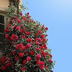 Kletterrose Red Flame in Rot - Kletter-Rose winterhart, stark duftend - Pflanze für Rankhilfe im 5 Liter Container von Garten Schlüter - Pflanzen in Top Qualität