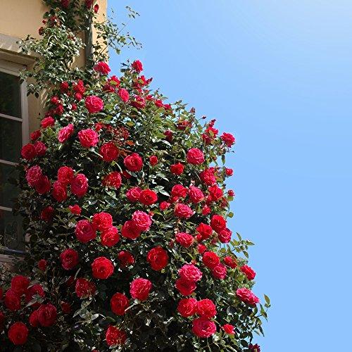 Kletterrose Red Flame in Rot - Kletter-Rose winterhart, stark duftend - Pflanze für Rankhilfe im 5...