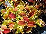 Exotic Plants Dionaea muscipula Clumping Cultivar - dionea atrapamoscas o Venus atrapamoscas -...