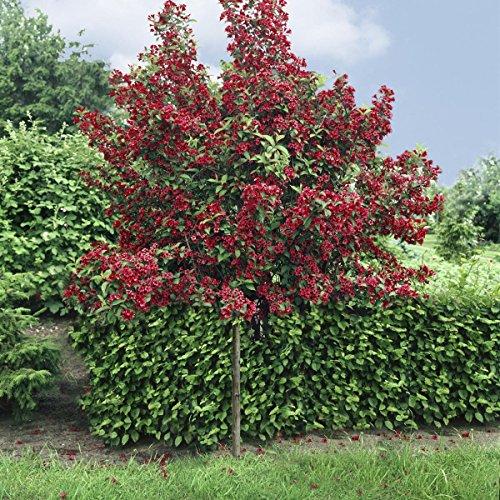 weigelia-bristol-ruby-als-kugel-stammchen-gezogen-rot-bluhend-1-pflanze
