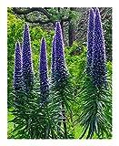 Echium candicans - Madeira Natternkopf - Stolz von Madeira - 15 Samen