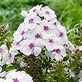 lichtnelke - Flammenblume (Phlox) Famous 'White Eye' von Lichtnelke Pflanzenversand bei Du und dein Garten