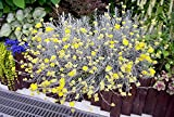 Curry Korma herb plant silver leaves yellow flowers 9cm pot FREE POSTAGE