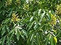 Portal Cool Aesculus Pavia Alveolus Rosskastanie Rot 1 Pflanze von Wide Spread auf Du und dein Garten