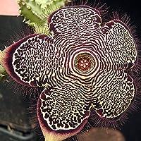 Edithcolea grandis (Persian Carpet Flower) - 5 Samen