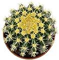 Echinocactus grusonii v. intermedius - der kurzdornige Kugelkaktus ist eine beliebte Zimmerpflanze -malerischen Sukkulente - Schwiegermuttersessel von unbekannt auf Du und dein Garten