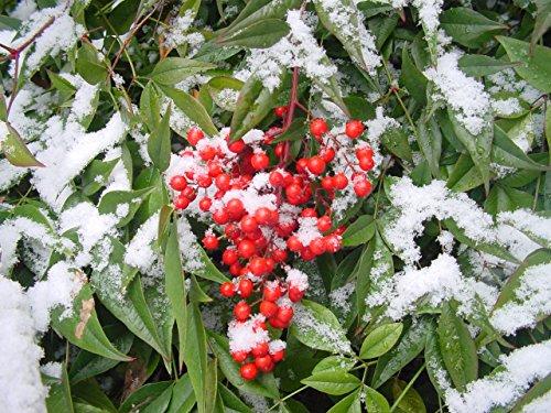 shade-plant-sacred-bamboo-nandina-domestica-rare-evergreen-shrub-showy-fruits-in-winter-autumn-colou