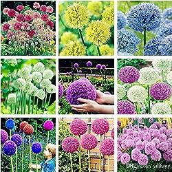 UPSTONE Garten - 100 Riesen Zierlauch Sternkugel Lauch Allium giganteum Blumenlauch mehrjährig winterhart