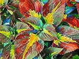 100pcs / bag Begonie Samen Bonsai Blumensamen Hof Balkon Coleus Samen Begonie Pflanzen für Haus Garten vergossen