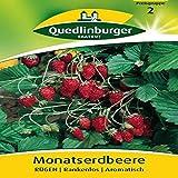 Monatserdbeeren Rügen | Rankenlos | Aromatisch (Fragaria vesca) -