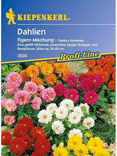 dahlia-hybriden-dahlien-figaro-mischung