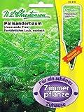 Palisanderbaum Palisander Baum Jacaranda mimosifolia Zimmerpflanze Exotisch