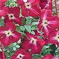 Clematis viticella Rubra dunkelrot 60 - 100 2 L Co. von VDG-KL-Baumschule - Du und dein Garten