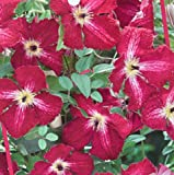 Clematis viticella Rubra dunkelrot 60 - 100 2 L Co.