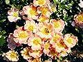 """Bodendecker """"Bienenweide Apricot ®"""" von Agel Rosen bei Du und dein Garten"""