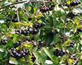 Portal Cool Las semillas del paquete: 20 Negro Aronia - Aronia melanocarpa