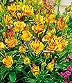 """Lilie """"Apricot Fudge"""",3 Knollen von Baldur-Garten bei Du und dein Garten"""