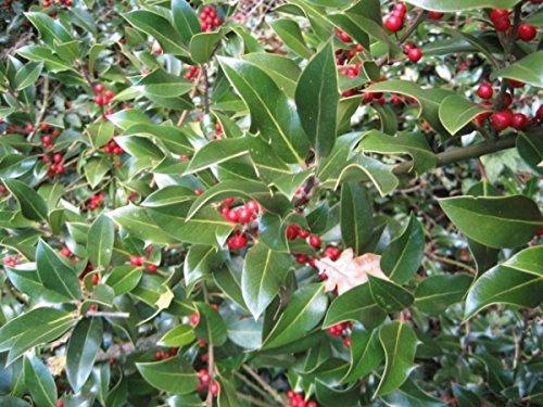 Stechpalme Kräftige Pflanze