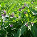 lichtnelke - Beinwell / Symphytum officinale 9 cm Topf von Lichtnelke Pflanzenversand auf Du und dein Garten