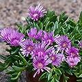 lichtnelke - Mittagsblümchen (Delosperma 'Sundella Lavender') von Lichtnelke Pflanzenversand bei Du und dein Garten