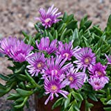 lichtnelke - Mittagsblümchen (Delosperma 'Sundella Lavender')