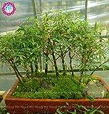 40Pcs Rare Bonsai Chinesische Bambus Samen Glücksbambus Samen Office Schreibtische Topfpflanze Dekoration für Haus Garten