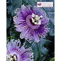 ca. 65cm hoch, im 14cm Topf selbstfruchtende Kiwi Pflanze, kr/äftige winterharte Pflanze, Sorte: Jenny Actinidia deliciosa