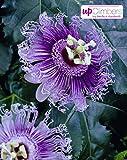 Winterharte Passionsblume, exotische Schönheit, (Passiflora caerulea), ca. 65cm hoch im 15cm Topf, (Lila (Purple Haze))