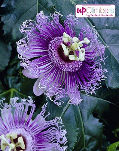 Winterharte Passionsblume, exotische Schönheit, (Passiflora caerulea), ca. 65cm hoch im 15cm Topf,...