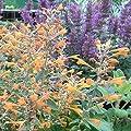 lichtnelke - Duft-Nessel (Agastache aurantiaca ' Apricot Sprite ') von Lichtnelke Pflanzenversand auf Du und dein Garten
