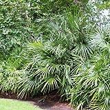 Future Exotics Rhapidophyllum Hystrix Winterhärtesten Palmen der Welt