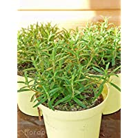 Suchergebnis Auf Amazonde Für Rosmarin Pflanze Garten